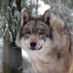Rasprostranjenost medvjeda, vukova, riseva i čaglja u Europi