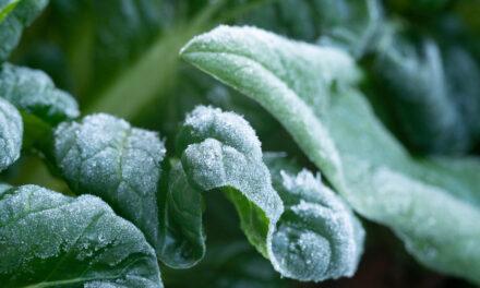 Jutarnji mraz na povrću